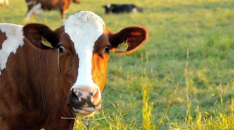 Kráva v trávě