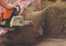 Demokratická strana zelených aPavla Říhová křezání rohům nosorožců vzoo-nelogických zahradách